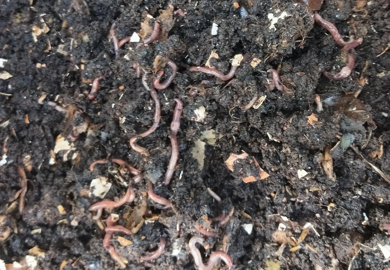 自產天然蚓糞土